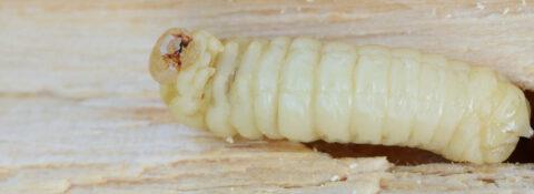 Kołatek domowy larwa